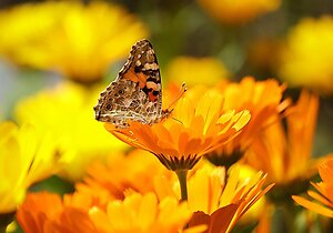 The Consultation. marigold butterfly