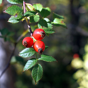 Herbal News/ Events. rosehip